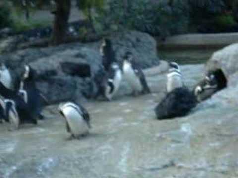 chim cánh cụt kêu