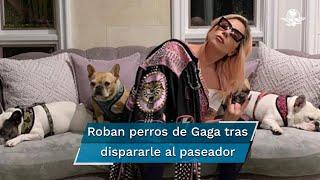 Un hombre disparó contra el paseador de perros de Lady Gaga y se llevó sus dos bulldogs franceses, una raza al parecer muy cara y demandada en estos momentos