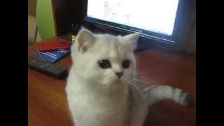 Британская кошка серебристая затушёванная