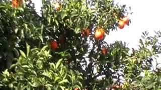 Drzewko pomarańczy owoce Hiszpania