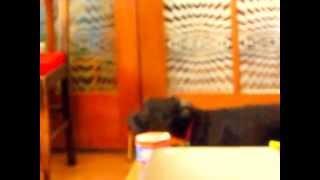 The Taz, Mini Schnauzer Puppy Howling
