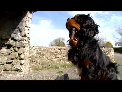 Galway Dog 'Smokes' a Pipe