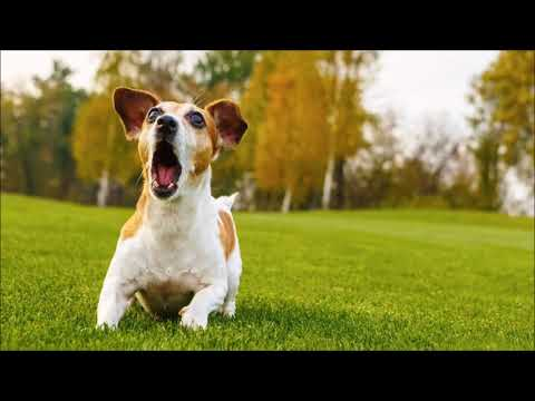 Dog Barking Sound | Free Sound Effects | Animal Ringtones