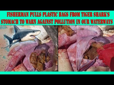 **SHOCKING FOOTAGE** Fisherman pulls multiple plastic bags from tiger shark's stomach!