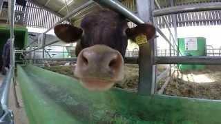 Cow licks Gopro Hero 3+ - Slow motion