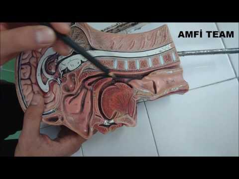 Baş Ve Boyun Bölgesi Anatomisi