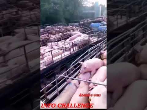 Porc infecté par le coronavirus/ Grande perte auprès des autorités chinoise