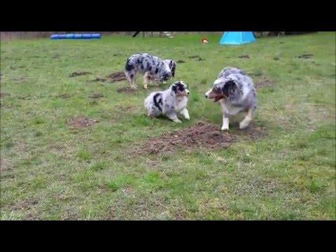 Australian Shepherd Puppies 9 weeks old
