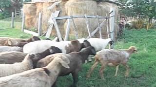 Овцы. Курская область. Продажа.