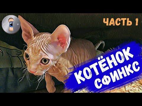 Котенок Сфинкс нашел дом! Часть 1. Приколы с котами начались!