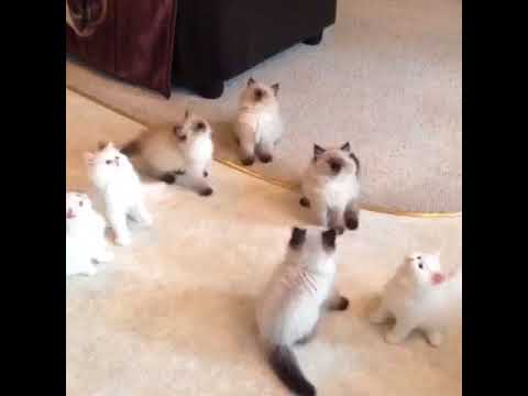 Cute Himalayan kittens playing with cat toy