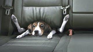 Смешные собаки Приколы про собак Funny Dogs 2019 (Самые Курьезные шутки)