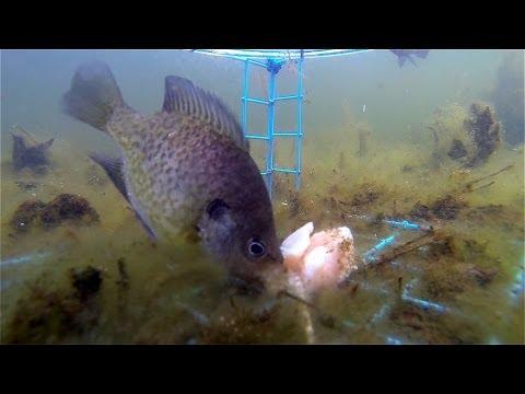 Bluegill Underwater - GoPro underwater with chicken