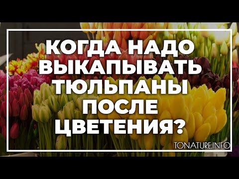 Когда надо выкапывать тюльпаны после цветения? | toNature.Info