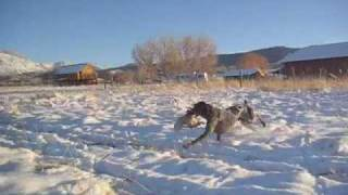 "German Shorthair Pointer ""cabela"" Colorado Snowy Pheasant Hunt"