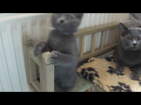 Blue Melody Chartreux Cats -Greta, Ginger and Gabin 8 weeks old