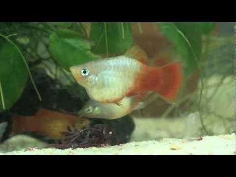 colored white skirt tetras gymnocorymbus ternetzi 4 red eye tetras