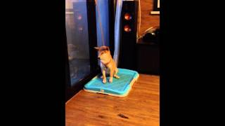 Hina the shiba inu falling asleep during potty training