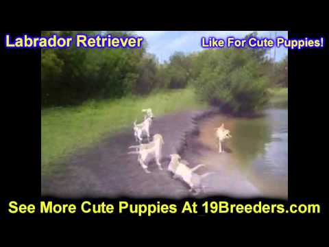 labrador-retriever,-puppies,-for,-sale,-in,-butte-silver-bow,-montana,-mt,-helena,-havre,-kalispell