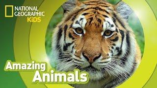 Tiger 🐯 | AMAZING ANIMALS