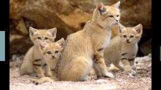 【Cute】The world's smallest wild cat!Sand cat