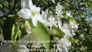 Наконец то и у нас зацвели яблони, запели соловьи, зажужжали пчелы