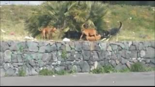 VIDEO SHOCK Randagismo a Biancavilla, attacco feroce del branco di cani