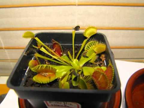 Evolution plante carnivore eau min rale mouche youtube for Plante carnivore mouche interieur