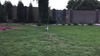 ,,самая быстрая собака на земле ''(моя)
