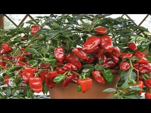 ПОЧЕМУ ОПАДАЮТ ЗАВЯЗИ У ПЕРЦЕВ | подкормить | выращивани | болгарский | подкормка | открытом | сладкий | посадка | высадка | грунте | перца