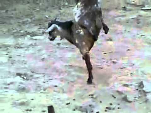 خروف يمشي برجل وحدة سبحان الله