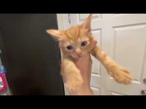The Fun of Japanese Bobtail Kittens!