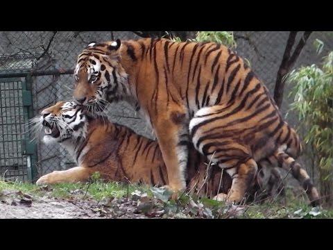 Sibirische Tiger Ahimsa und Jegor – Ttierpark Hellabrunn
