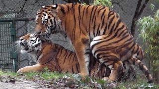 Sibirische Tiger Ahimsa und Jegor - Ttierpark Hellabrunn