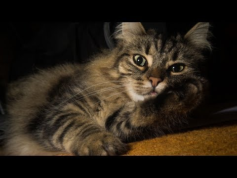 How to Care for Norwegian Forest Cats - Grooming Your Norwegian Forest Cat