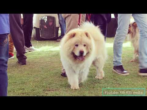 CACIB Dog Show Lahore, Pakistan. Pitbull, Dogo Argentino, Chow chow, husky, amstaff labrador etc
