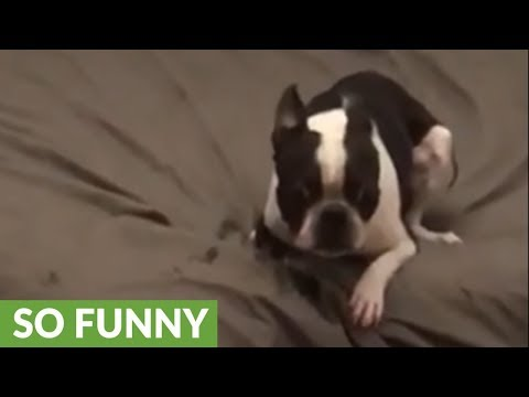 Boston Terrier's high-speed zoomies on the bed