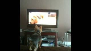 Lucky Loves To Watch Dogs 101- Yorkshire Terrier