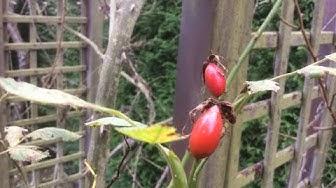 Le Cynorhodon ou Métamorphose de la Rose