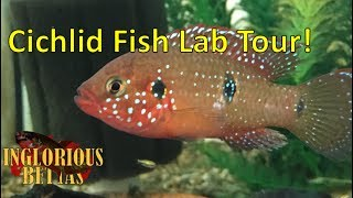Evolutionary Ecology of Fishes Lab at Sacramento State - Cichlids galore!