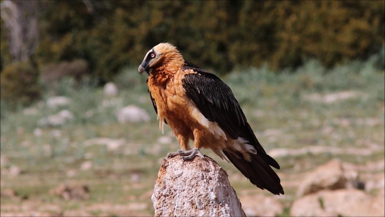 bearded vulture - photo #19