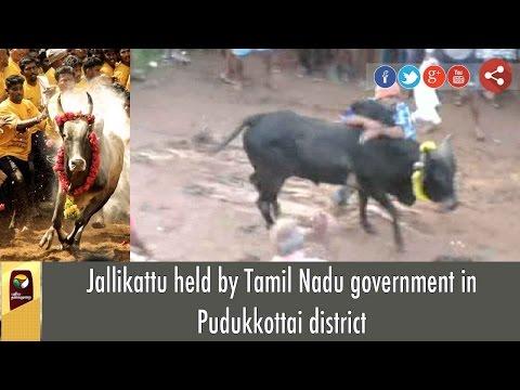 Jallikattu held by Tamil Nadu government in Pudukkottai district