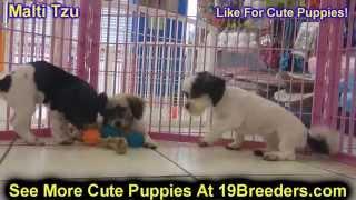 Malti Tzu, Puppies, For, Sale, In, Mobile, County, Alabama, Al, Huntsville, Morgan, Calhoun, Etowah,