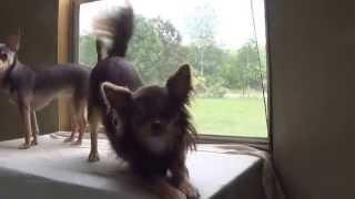 Maggie, the barking Chihuahua