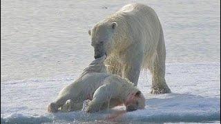 Полярный медведь. Жестокое Выживание Полярного Медведя - Документальный фильм 2017