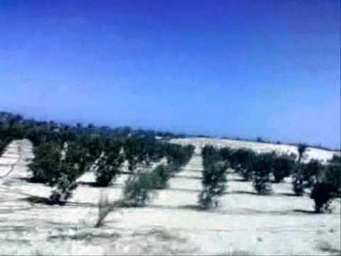 Palm trees-Deir El Balah- Gaza