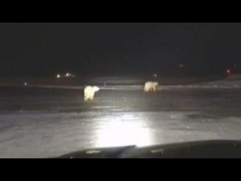 See Polar Bears Spotted Running along Alaska Airport Field!