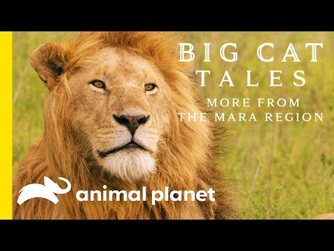 The Lion | Big Cat Tales: More from the Mara Region