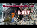 Masteran Mantenan Rambatan Siri Siri  Mp3 - Mp4 Download