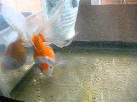 Veiltail Goldfish | Veiltail Goldfish Youtube